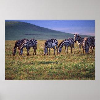 Zebras on the Serengetti Plains at Sunrise, Poster