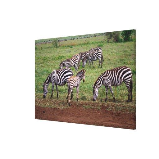 Zebras on the Serengetti Plains, Equus quagga, Canvas Print
