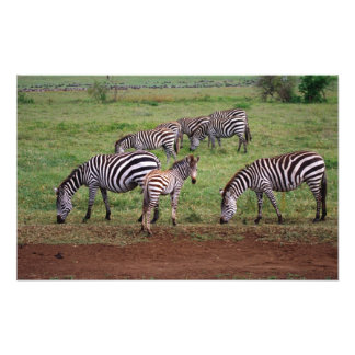 Zebras on the Serengetti Plains, Equus quagga, Photograph