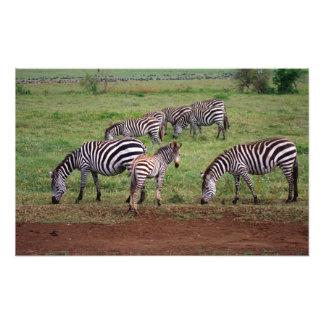 Zebras on the Serengetti Plains, Equus quagga, Photograph