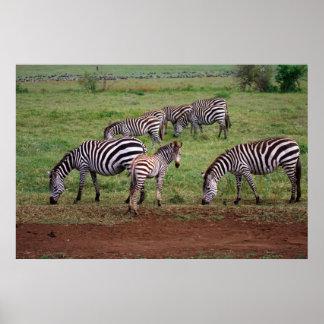 Zebras on the Serengetti Plains Equus quagga Poster
