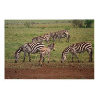 Zebras on the Serengetti Plains, Equus quagga, Wood Canvas