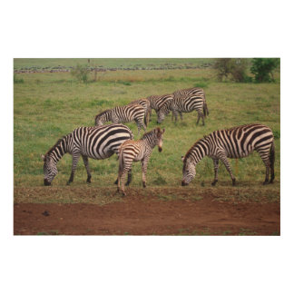 Zebras on the Serengetti Plains, Equus quagga, Wood Canvases