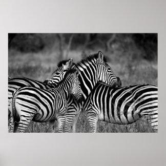 Zebras Poster