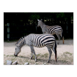 Zebra's Poster