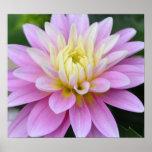 Zen Flower- Dahlia Posters