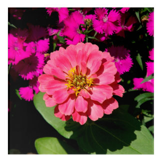 Zinnia, Arcylic Wall Art. Acrylic Wall Art