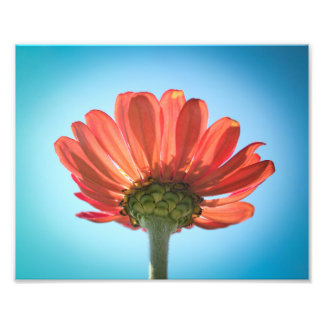 Zinnia Flower - Looking Up Photograph