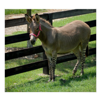 Zonkey name for donkey and zebra mix poster