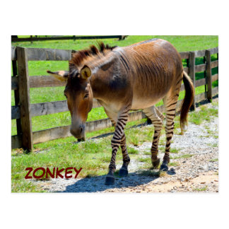 Zonkey part Zebra and Donkey Postcard