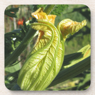 Zucchini plant in blossom in the vegetable garden coaster