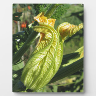 Zucchini plant in blossom in the vegetable garden plaque